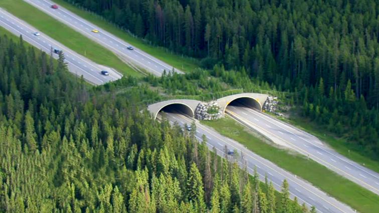 Los ecoductos pueden salvar vidas salvajes