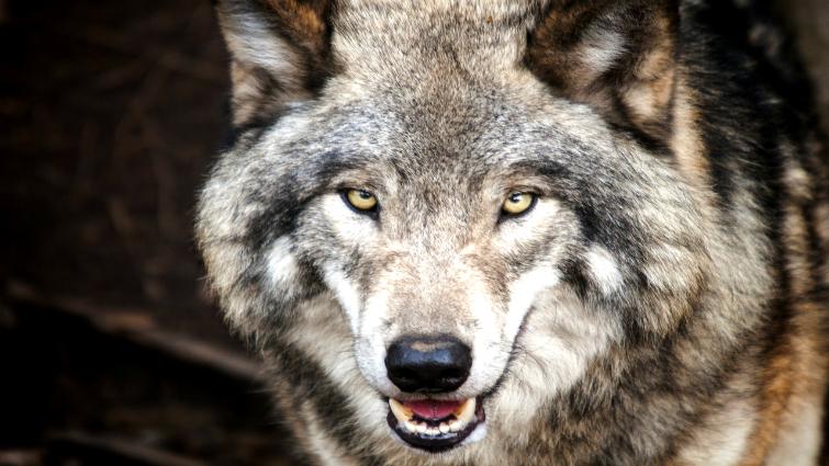 Cómo los lobos cambiaron los ríos